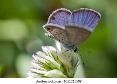 Macro view of miami blue butterfly