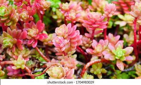 Macro view of nice small tiny red succulent, also called Red Jelly Bean ( Sedum Rubrotinctum )
