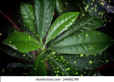Macro view on dimmed house plant Dracaena surculosa (godseffiana) foliage leafs on dark background