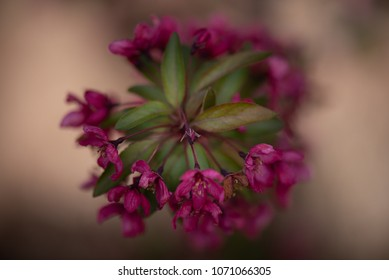 Macro view of pink crabapple blossoms.