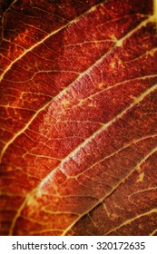 Macro view of red autumn leaf in bright sunlight