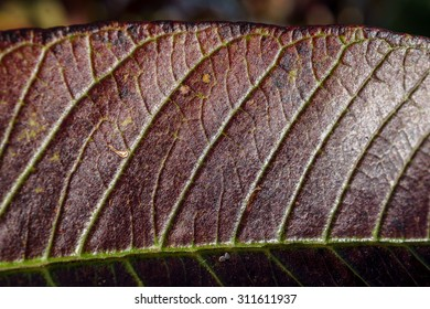 Macro view of red Malaysian guava leaf glittering in the sun