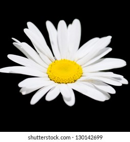Macro view of single chamomile over black background