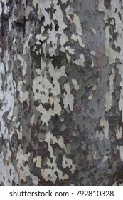 Macro view of the skin of a platanus in South of France. Different colors and spots, grey, beige, green and brown. Close up view of the textured surface of the plane tree. Wooden pattern and shapes.