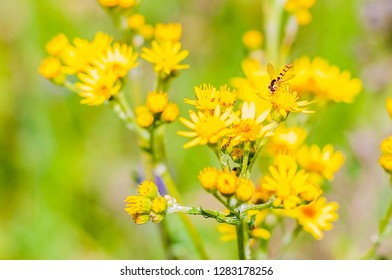 Macro view of small Hoverfly insect sitting on yellow blooming wild flowers