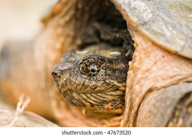 macro view of snapping turtle head