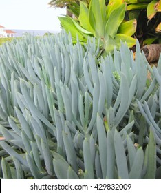 Macro View - Soft Landscaping - Blue Chalksticks Succulent Groundcover Foliage Detail