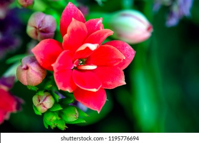 A macro view of a succulent plant. Kalanchoe blossfeldiana. Also know flaming Katy, Christmas kalanchoe, florist kalanchoe. Madagascar widow's-thrill. The exuberance of red in nature.
