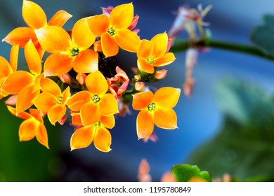 A macro view of a succulent plant. Also know how flaming Katy, Christmas kalanchoe, florist kalanchoe. Madagascar widow's-thrill. The exuberance of yellow in nature. Kalanchoe blossfeldiana