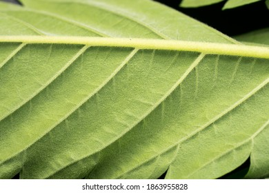 Macro View of the Underside of a Cannabis Leaf