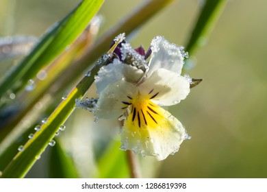 Macro of a Viola arvensis (field pansy) with frosty water drops early morning on a meadow