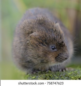 macro water vole on a mossy rock, soft background