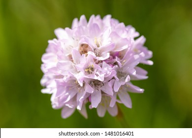 Macro of a white Armeria alpina