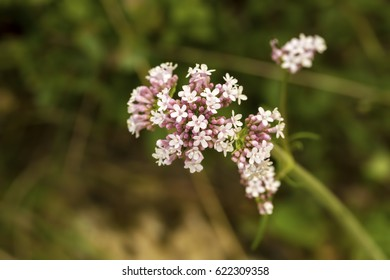 Macro of a white common valerian