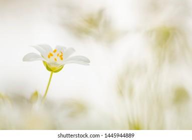 Macro of white flower - Starwort (Stellaria)