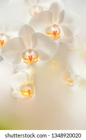 Macro of white orchids flowers in backlight