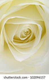 Macro of white rose flower for nature background