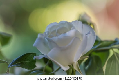 Macro of a white rose, often a symbol for purity and virgin and common in wedding bouquets