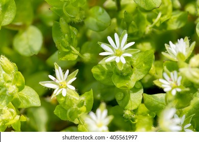 Macro of white Stellaria media flowers (chickweed) under the soft spring sun