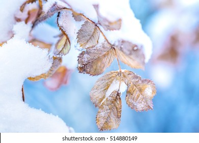 Macro winter outdoor scene frozen leaves covered by snow. Branch under winter frost, natural background photography. Winter nature under white snow. Winter brunch with dry leaf in frost, shallow focus