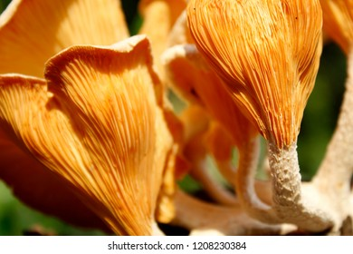 A lot Macro of Wood mushrooms. Yellow mushrooms growing on a old tree trunk. mushroom habits and hats are close up. Mushrooms with a yellow hue fungal growth. yellow mushroom background
