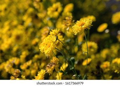 Macro of a yellow chrysanthemum in its field and on a blurred and colored background