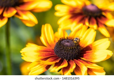 Macro of a yellow coneflower - Rudbeckia