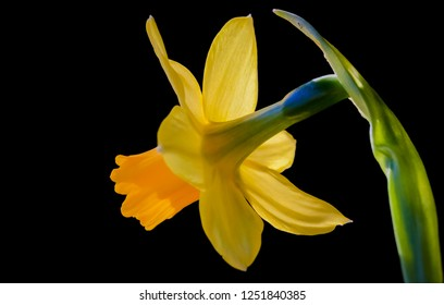 Macro of yellow flowering daffodil