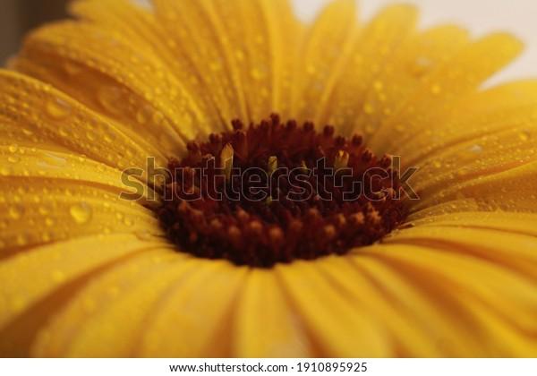 Macro of Yellow Gerbera flower.
