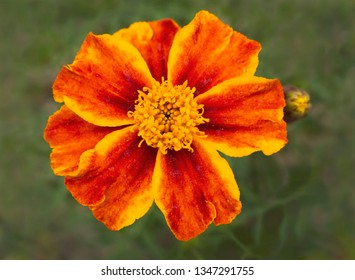 macro of a yellow and orange dwarf french marigold flower on a background of blurred leaves with soft lighting