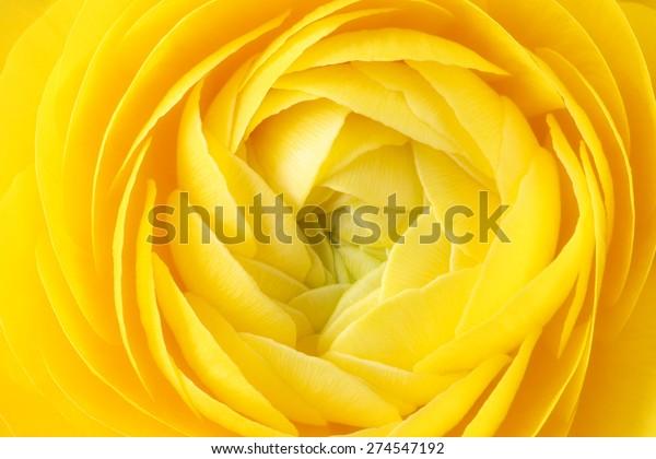 Macro of yellow ranunculus or buttercup flower