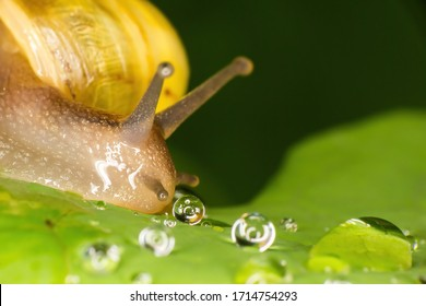 Macro of a yellow snail next to droplets of water on a leaf during a rainy day. The background is green and the leaf is supporting multiple water bubbles. The snail is slimy, wet and reflective.