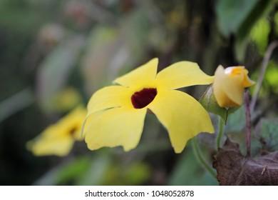 Macro of yellow Thunbergia flower