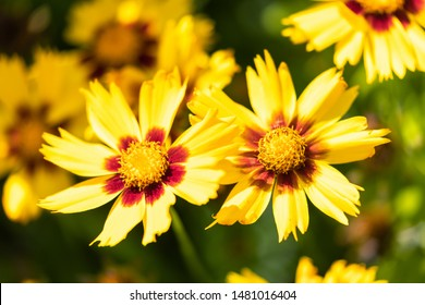 Macro of a yellow tickseed - Coreopsis