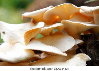 Macro Yellow Wood mushrooms on a tree trunk. mushroom hats close up. Mushrooms with a orange hue Fungal growth. Orange fungus on wood. Gathering mushrooms nature forest. Wild mushroom background.