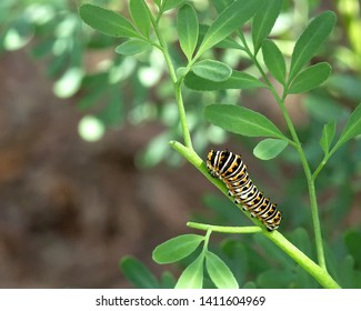 Macro of a young Black Swallowtail Caterpillar munching away on a rue plant.  Common rue is the larvae food source for the black swallowtail butterfly.