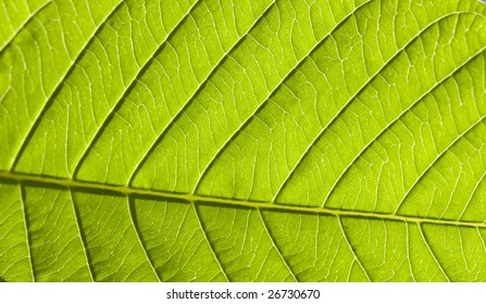 Macro of a young, fresh leave. Backlit by sun.