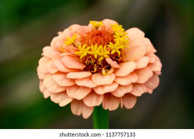 Macro of a zinnia flower with layers of small peach-coloured petals and yellow stamens