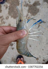 Macrobrachium rosenbergii, also known as the giant river prawn or giant freshwater prawn, is a commercially important species of palaemonid freshwater prawn.