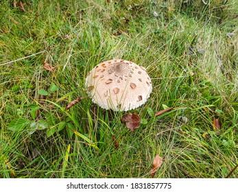 Macrolepiota excoriata mushroom, Baiului Mountains, Romania