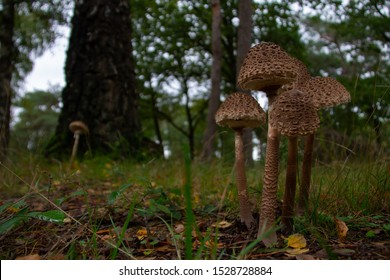 Macrolepiota procera, the parasol mushroom, is a basidiomycete fungus with a large, prominent fruiting body resembling a parasol