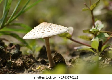 Macrolepiota procera, the parasol mushroom, is a basidiomycete fungus with a large, prominent fruiting body resembling a parasol. It is a fairly common species on well-drained soils. It is found solit