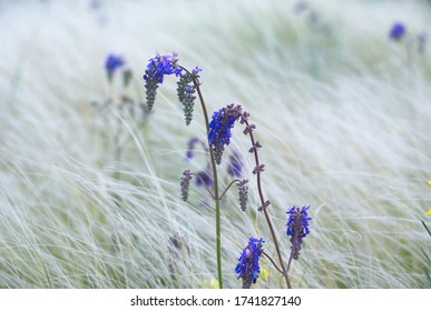 macrophoto of Salvia nutans (nodding sage) flowers among fluffy Stipa stems (known as feather grass, needle grass)