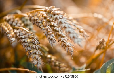 Macro-photo of Wheat. Full of Ripe Grains, Golden Ears of Wheat or Rye on a Field. Rich Harvest Concept. Majestic Rural Landscape. Creative Picture of Nature.  Label art design. Copy space.