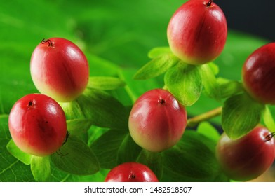 macrophotography of berries of a tutsan or sweet-amber changing color from white to red during ripening process