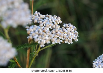 macrophotography of clusters of white flowers at inflorescence of a common yarrow in evening sun