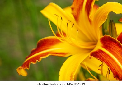 macrophotography of a day lily blossom with yellow and red petals