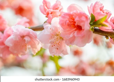 Macrophotography of soft spring flowers. Delicate floral background. Fresh pink petals on a blurred background. Cream colored flowers.