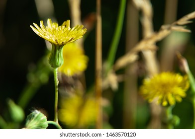 macrophotography of a yellow hawkweed, hieracium, in summer meadow on sunny day