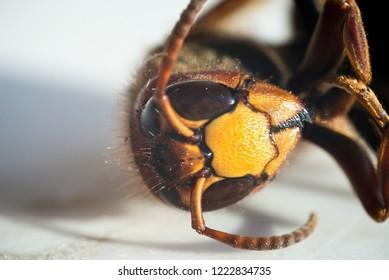 Macro-photograpy on a wasp (Vespa crabro) head